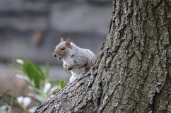 Roześmiana wiewiórka Zdjęcia Stock