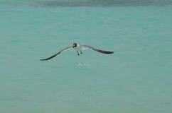 Roześmiany frajer Nad Tropikalnym Aqua Nawadnia w Aruba Fotografia Royalty Free