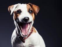 Roześmiany zabawa pies na czerni Zdjęcia Stock
