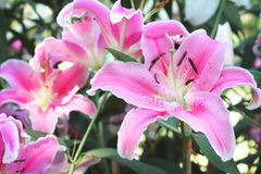 Roze mooi lilly in de tuin stock foto