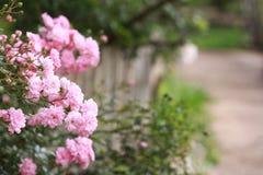 Roze mooi nam in de tuin toe Stock Afbeelding