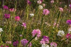 Roze mooie Bloem, achtergrond en behang Stock Foto