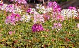 Roze mooie Bloem, achtergrond en texturen Stock Afbeelding