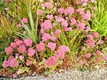 Roze mooie bloemen Stock Foto's