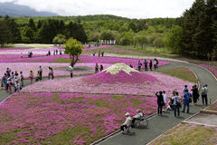 Roze mos bij MT fuji Stock Foto