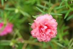 Roze Moss Rose die met waterdalingen bloeien, roze bloem stock afbeelding