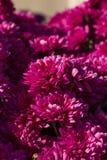 Roze mums Stock Afbeeldingen