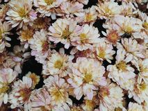 Roze mums stock afbeelding