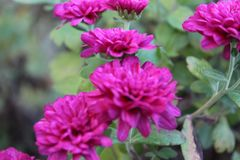 Roze mums stock fotografie