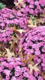 Roze mums van de dalingsschoonheid Stock Afbeeldingen