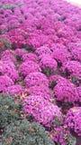 Roze mums van de dalingsschoonheid Royalty-vrije Stock Foto