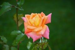 Roze nam Achtergrond toe Stock Afbeelding