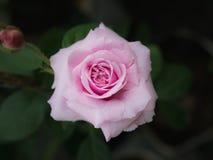 Roze nam Bloeiend toe stock foto