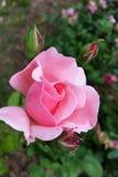 Roze nam Bloeiend toe Royalty-vrije Stock Foto