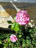 Roze nam bloem met geel centrum toe stock afbeelding