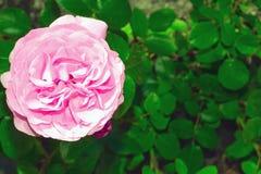 Roze nam bloem in onscherpe dichte omhooggaand natuurlijke als achtergrond toe Het heldere roze bloeien nam hoofd volledig open i royalty-vrije stock fotografie