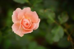 Roze nam bloem op donkere achtergrond toe Stock Foto