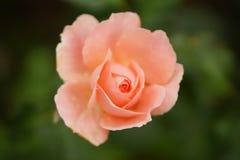 Roze nam bloem op donkere achtergrond toe Royalty-vrije Stock Afbeeldingen