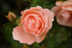Roze nam bloem op donkere achtergrond toe Stock Foto's