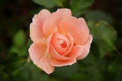 Roze nam bloem op donkere achtergrond toe Stock Fotografie