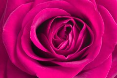 Roze nam bloem toe Roze nam toe Stock Fotografie