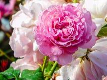 Roze nam bloem toe stock afbeeldingen