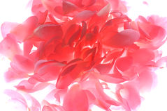 Roze nam bloemblaadjes toe Royalty-vrije Stock Foto