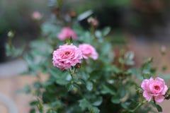Roze nam bloemen toe Stock Afbeeldingen