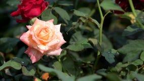 Roze nam bloesem op het gebied van de rozenbloem toe stock footage