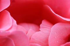 Roze nam bloesemmacro toe Royalty-vrije Stock Afbeeldingen