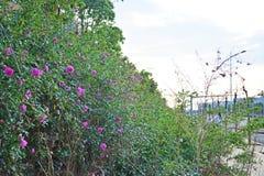Roze nam bloesems in tuin het plaatsen toe royalty-vrije stock foto