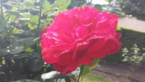 Roze nam, de kleurrijke lente toe Royalty-vrije Stock Fotografie
