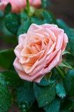 Roze nam in de Tuin toe Royalty-vrije Stock Foto's