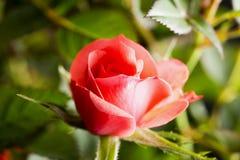 Roze nam in dichte omhooggaand toe royalty-vrije stock foto
