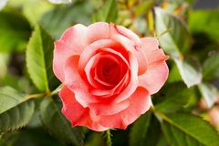Roze nam in dichte omhooggaand toe stock fotografie