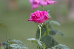 Roze nam in een tuin toe royalty-vrije stock afbeelding