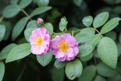 Roze nam in een tuin toe Stock Afbeeldingen