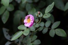 Roze nam in een tuin toe Royalty-vrije Stock Foto