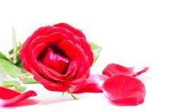 Roze nam met bloemblaadjes op witte achtergrond toe Mooie bloesem met fluweelbloemblaadje Royalty-vrije Stock Fotografie