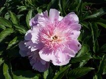 Roze nam met groene bladeren en bij in de tuin toe Stock Fotografie