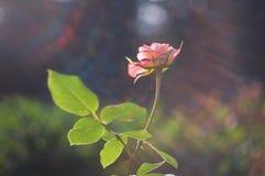 Roze nam met stralen van licht toe royalty-vrije stock fotografie