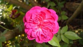 Roze nam mooie bloem in Sri Lanka toe royalty-vrije stock foto's