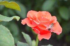 Roze nam op achtergrond roze rozenbloemen toe royalty-vrije stock afbeeldingen