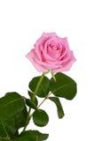 Roze nam op een witte achtergrond toe Stock Foto