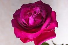 Roze nam op een witte achtergrond toe Royalty-vrije Stock Foto's