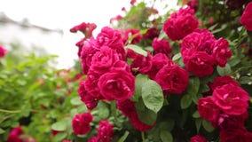 Roze nam op het insect op roze bloemblaadjes in de tuin in de zomer toe stock footage
