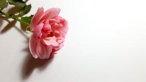 Roze nam op witte achtergrond toe Stock Afbeeldingen