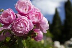 Roze nam in Rose Garden, Florence, Italië toe - 23 Mei 2016 royalty-vrije stock afbeeldingen