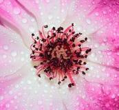 Roze nam toe Stock Foto