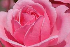 Roze nam in tuin toe royalty-vrije stock fotografie